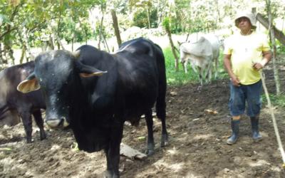 Cattle Breeding Project in Costa Rica